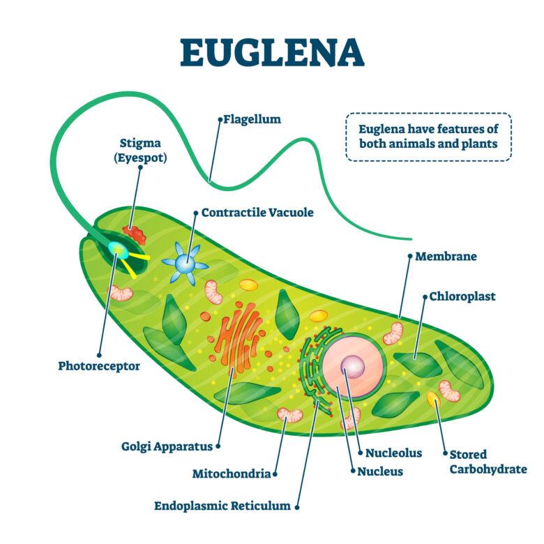動物・植物の性質を併せ持つユーグレナ