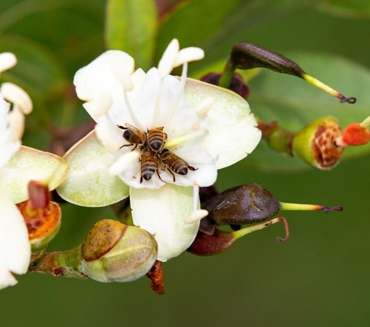 ブラジルのミツバチがつくるプロポリスは特別